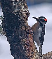 downywoodpecker32010