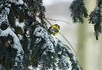 goldfinch41307