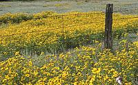 sunflowerfield82606